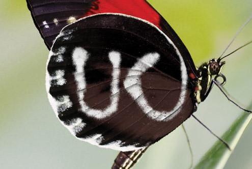 suk-butterfly